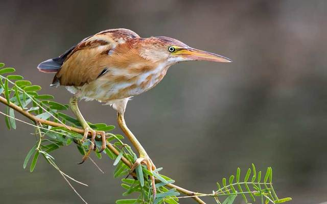 A Least Bittern was found in Ireland, having been blown across the Atlantic by Storm Lorenzo. (Stock Photo)
