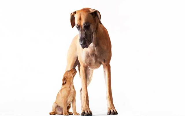 A Great Dane with a puppy.