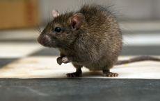 Thumb_viral_rat_dublin_getty