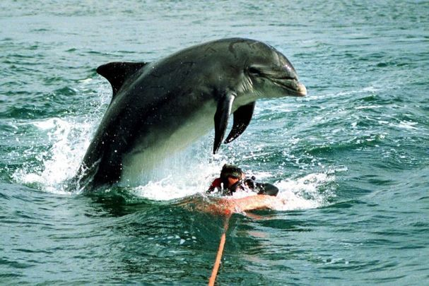 Fungie the Dolphin entertaining tourists in Dingle.