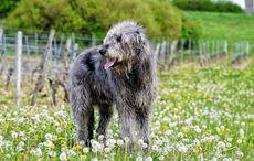 "Sherlock the Irish wolfhound's goodwill ""ambassadog"" story of New Hampshire"