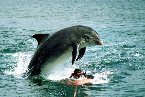 Fungie the Dolphin pictured in Dingle Bay in Co Kerry.