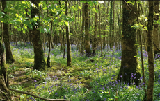 Ireland's ancient Heritage Trees - the oldest, biggest and strangest specimens