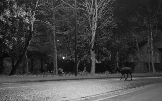 A deer wanders through Killarney Town during the filming of Grace Foley\'s music video.