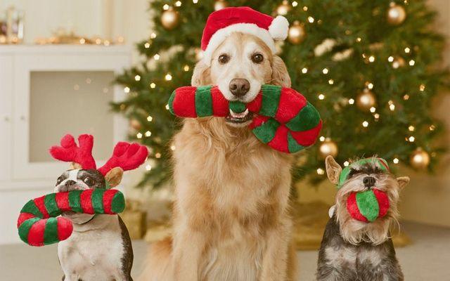 Dogs enjoying their Christmas gifts. (Stock Photo)