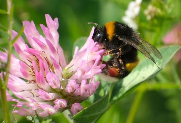 Bumblebees are finding food in increasingly short supply