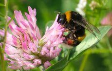 Thumb bumblebee   getty