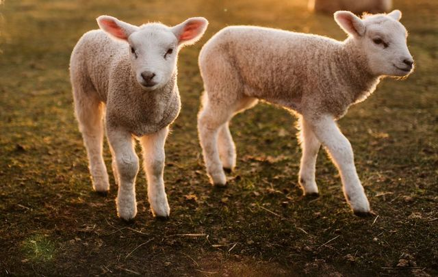 A spring miracle happened in cork with three sheep sisters giving birth to 11 lambs.