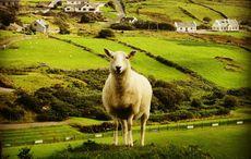 Thumb sheep sheeps getty