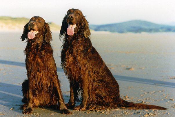 Two Irish Setters.