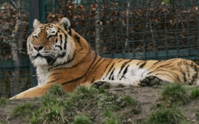 The tiger is the first US animal to test positive for the virus. Stock photo.