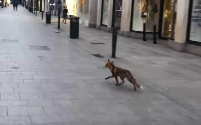 A fox was spotted roaming Dublin\'s Grafton Street.