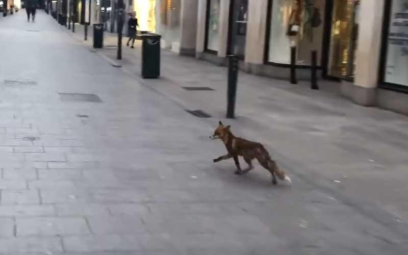 street fox)