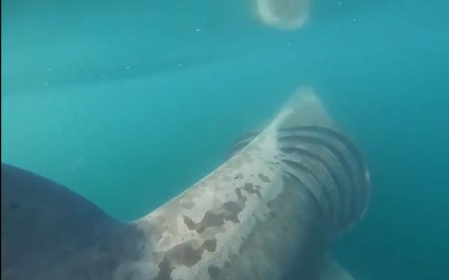 The surfers encountered at least 20 sharks off the coast of Ireland.