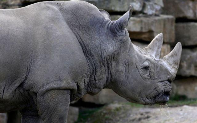 A white rhino at Dublin zoo.