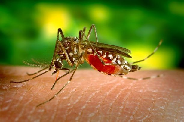Aedes mosquito: The Zika virus was diagnosed in Ireland four years after the WHO declared a public health emergency.