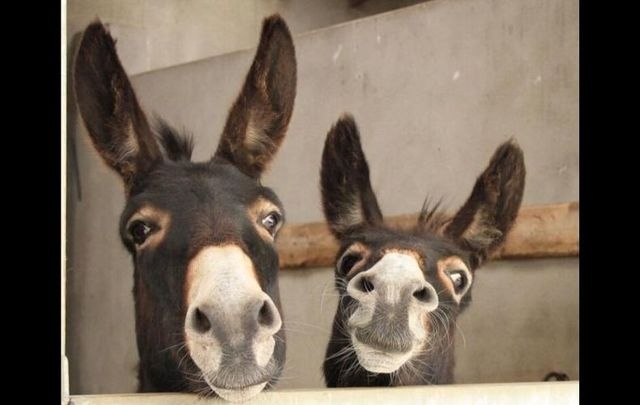 Bob and Bert, two of the donkeys being taken care of at the Donegal Donkey Sanctuary.