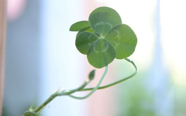 Four-leaf clover: The luck of the Irish!
