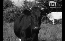 WATCH: When a Co Kerry parish introduced a tax on cows in 1962