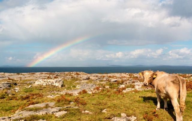 """A cow in Co Donegal was in the \""""moooood\"""" for a swim!"""
