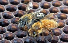Venom from honeybees sourced in Ireland proven effective against breast cancer cells