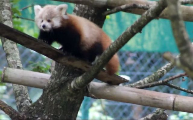 The red panda cubs were born in June and have just started to leave their nesting box.