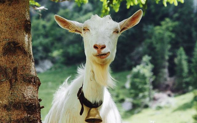 A goat has been roaming the streets of a Co Mayo town for nearly a month. (Stock Photo)