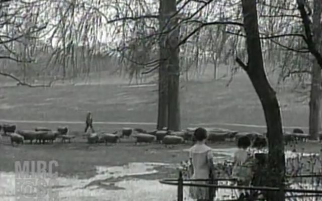 Sheep were once used to maintain grass in urban parks.
