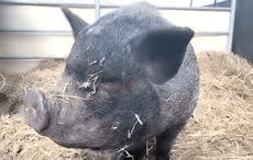 Add Emilia the pig to your Zoom meetings