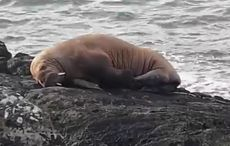 Arctic walrus floats to Co Kerry coast from Greenland aboard an iceberg