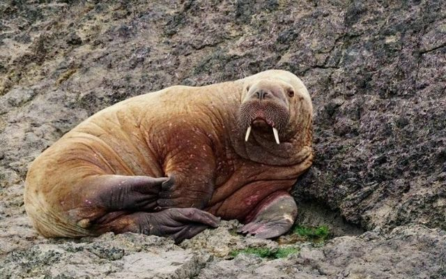 The walrus was spotted in South Pembrokeshire on Saturday morning.