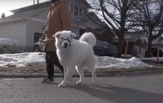 Hero dog saves owner having seizure by stopping traffic