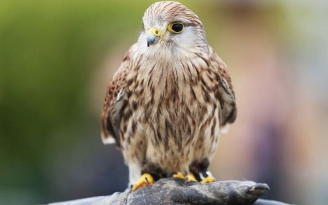 "The kestrel was one of 23 bird species in Ireland to be added to BirdWatch Ireland\'s ""red list\""."
