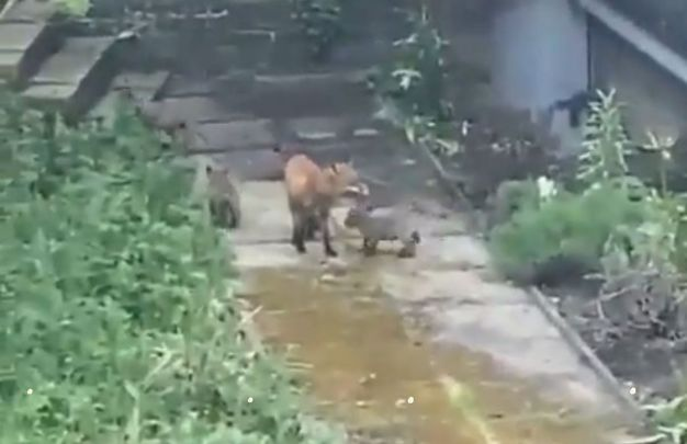 Sam the Trinity College Dublin fox and her five cubs