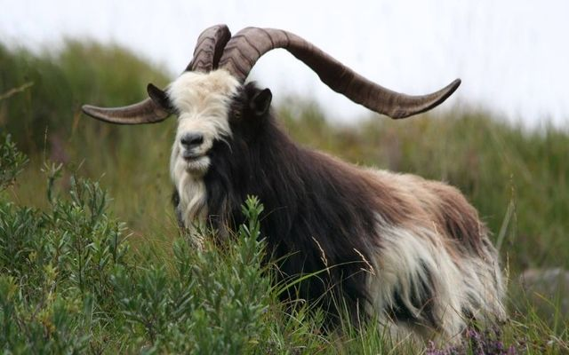 The Old Irish Goat is a rare species