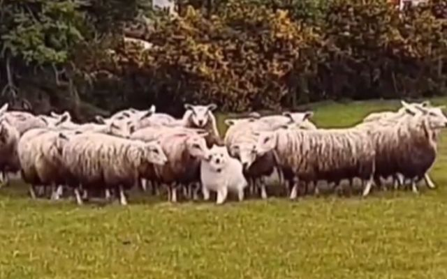 Follow the leader? Irish pup Teddy frolicking with his new flock of sheep in Co Kerry!
