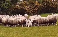 WATCH: Adorable pup caught flocking around with sheep in Co Kerry