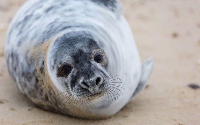 Grey seal pup. (Stock photo)