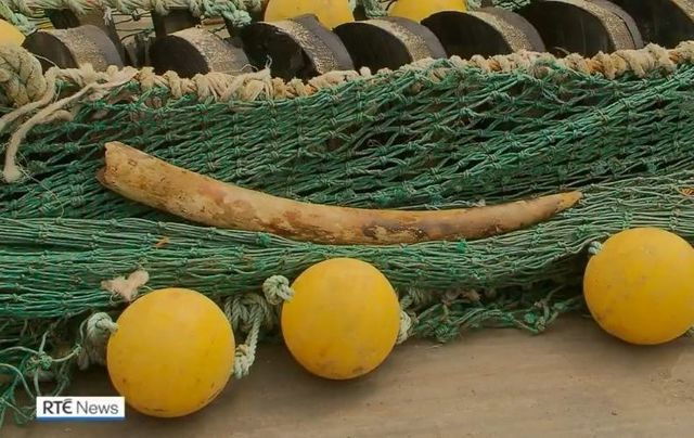 The elephant tusk that was netted by the Cun Na Mara trawler off the coast of Co Kerry.
