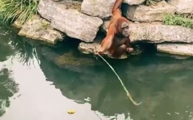 The Orangutan fishes a teddy bear out of the water before ripping it in half.