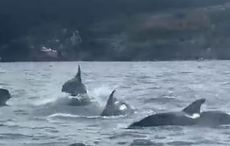 Fungie is that you? Pod of fifty dolphins spotted off West Cork coast