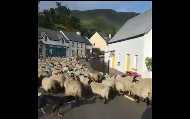 Farm dogs herd a massive flock of sheep through small Irish village