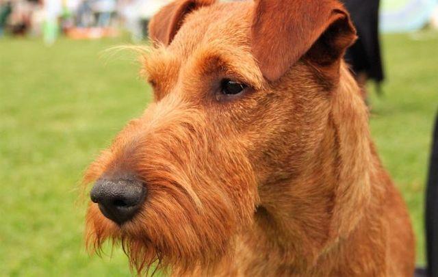 An Irish Terrier.
