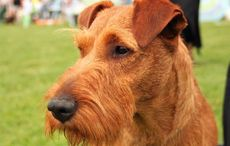 Notre Dame used to have Irish Terriers as their mascots