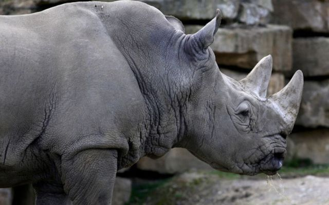 Rhino horns are used in traditional medicines in China and Vietnam.