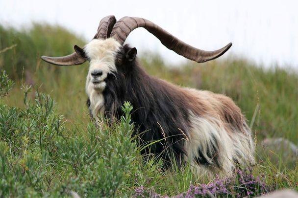 An Old Irish Goat.\n