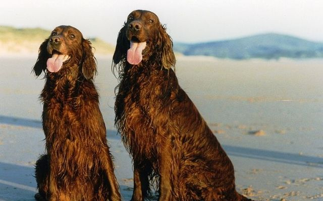 Two beautiful red setters: Animals you won't find anywhere but the Emerald Isle.