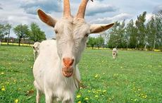The pagan origins of King of the goat's Puck Fair