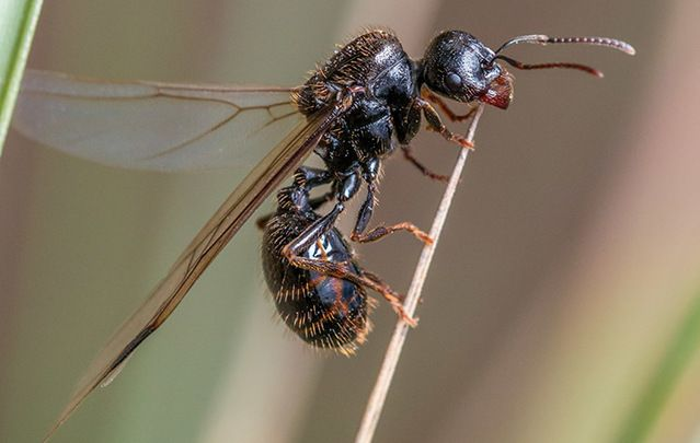 Brace yourself Ireland, the flying ants are coming! Mating swarms of bugs are synchronized and coming your way!