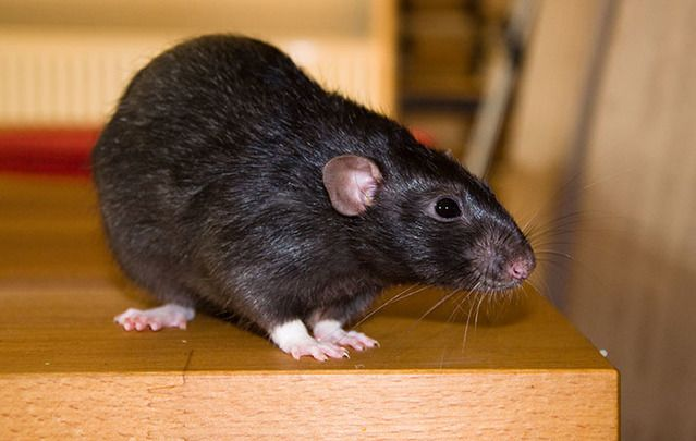 Ireland's rat population has exploded. As many as 4 out of 5 jobs for Pest controllers this season are rat-related.